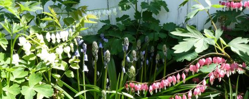bleeding-hearts1